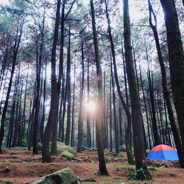 Deretan pohon pinus di Gunung Pancar