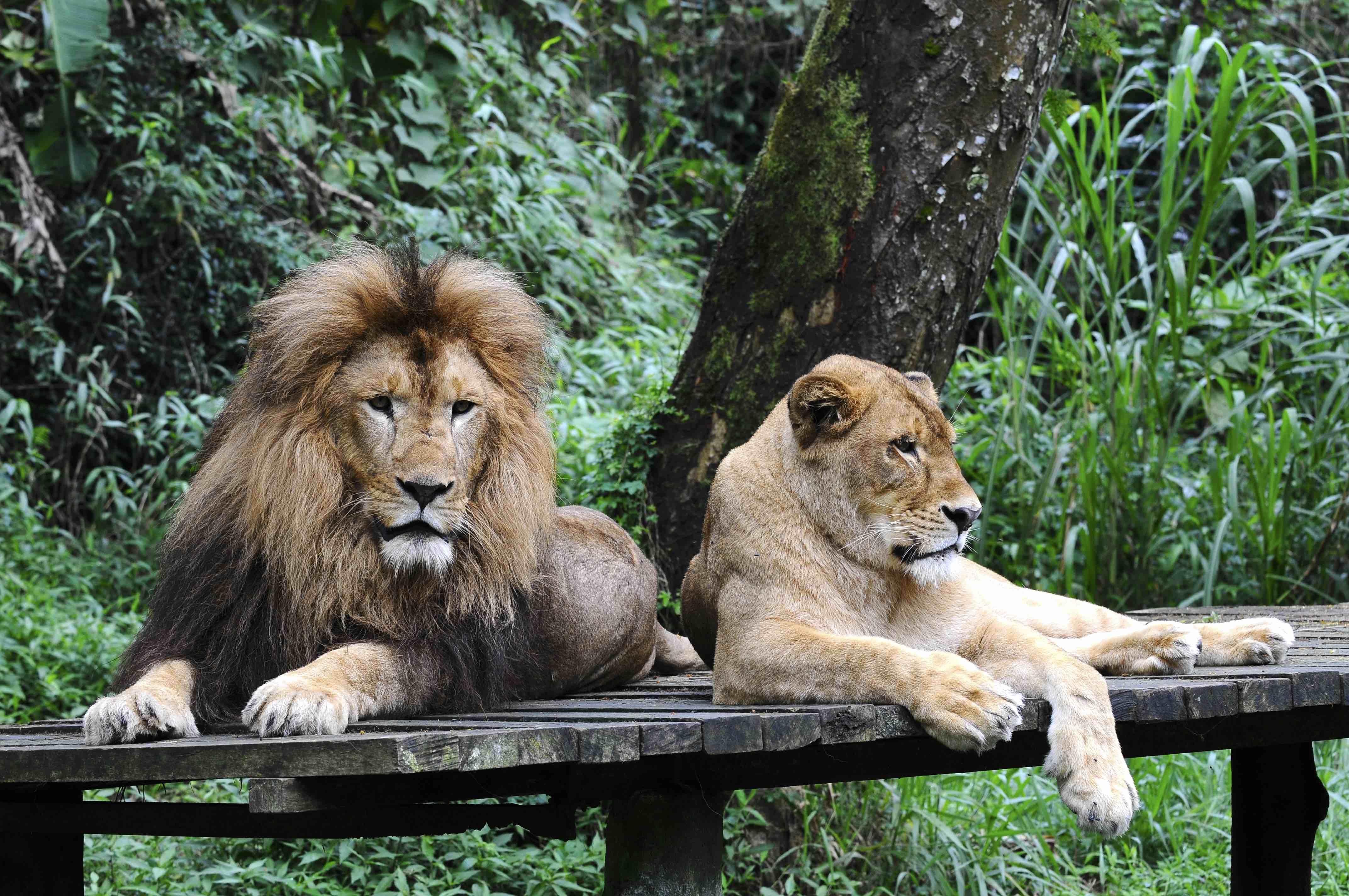 Sepasang singa di Taman Safari